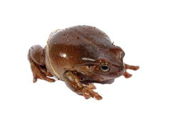 White's Dumpy Tree Frog. Brown Australian dumpy tree frog sitting on an isolated background Stock Image