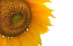 white słonecznikowy Obrazy Royalty Free