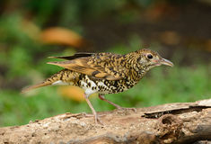 White's Thrush (Zoothera aurea) Royalty Free Stock Photo
