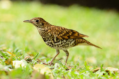 White's Thrush (Zoothera aurea) Stock Photo