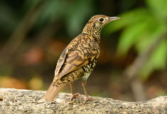White's Thrush (Zoothera aurea) Royalty Free Stock Photos