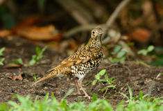 White's Thrush (Zoothera aurea) Royalty Free Stock Photography