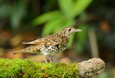 White's Thrush (Zoothera aurea) Stock Photos