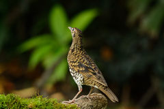 White's Thrush (Zoothera aurea) Stock Photography