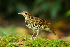 White's Thrush (Zoothera aurea) Royalty Free Stock Images