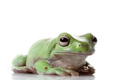 White��s Tree Frog Royalty Free Stock Image