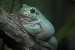 White's Tree Frog (Litoria caerulea) Stock Images