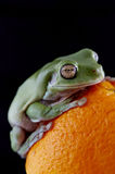 White`s tree frog Royalty Free Stock Photos