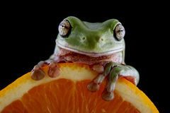 White`s tree frog Royalty Free Stock Image