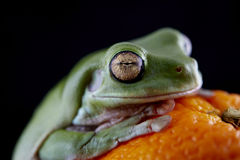 White`s tree frog Stock Photography