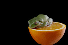 White`s tree frog Stock Image