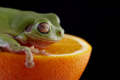 White`s tree frog Stock Photos