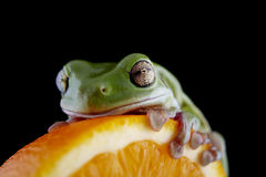 White`s tree frog Royalty Free Stock Images