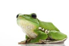 White's Tree Frog. (Litoria caerulea) isolated on white background Stock Image