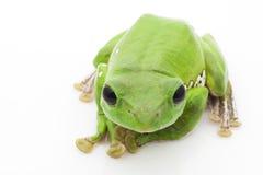 White's Tree Frog. (Litoria caerulea) isolated on white background Royalty Free Stock Image