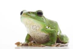 White's Tree Frog. (Litoria caerulea) isolated on white background Stock Photos