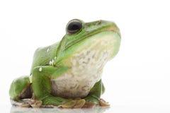 White's Tree Frog. (Litoria caerulea) isolated on white background Stock Photo