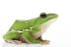 White's Tree Frog. (Litoria caerulea) isolated on white background Stock Photography