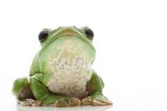 White's Tree Frog. (Litoria caerulea) isolated on white background Royalty Free Stock Photo