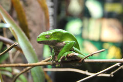 White's Tree Frog Stock Photo