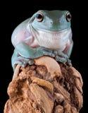 White's tree frog on wood Stock Photos