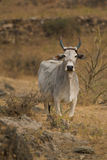 White sacred cow in countryside Stock Photography