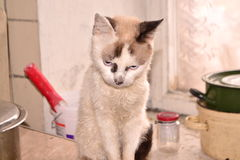 White sad cat Royalty Free Stock Image