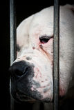 White  and sad dog behind grids. In a dog pound these dogs turns to be unhappy in a very short time period Stock Photo
