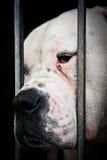 White and sad dog behind grids stock photo