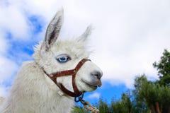 White, sad furry lama glama with long eyelashes. Close up portrait Stock Photo