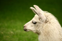 White, sad furry lama glama portrait. White, sad furry lama glama close up portrait royalty free stock photography