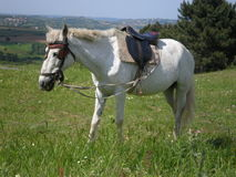 White saddle horse Royalty Free Stock Photography