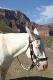 White saddle mule. Bridled up Stock Photos
