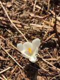 White saffron flower Royalty Free Stock Photography
