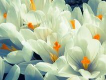 White saffron spring flowers macro Royalty Free Stock Images