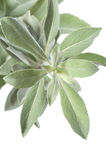 White sage Royalty Free Stock Photography