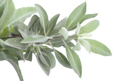 White sage. Closeup of fresh white sage Salvia apiana branch on white background Royalty Free Stock Photos