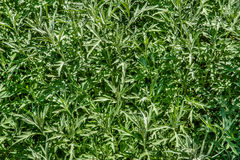 White Sagebrush plants. Under the midday sun Stock Photos