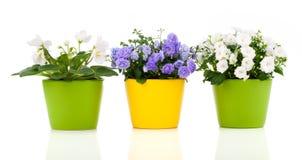 White Saintpaulia and Campanula terry flowers Stock Photos