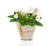White Saintpaulia flowers seedling Stock Image