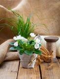 White Saintpaulia flowers seedling Royalty Free Stock Photo