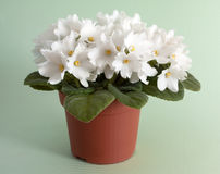 White saintpaulia in pot Stock Photography