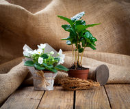 White Saintpaulias flowers and coffee plant tree Stock Images