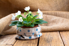 White Saintpaulias flowers in sackcloth packaging Royalty Free Stock Image