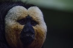 White Saki Monkey. A white saki monkey eats Stock Photos