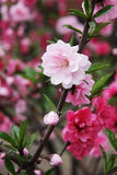 The white Sakura. Beautiful white flowers on the sakura tree, is taken along roadside Royalty Free Stock Photo