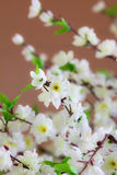 White Sakura Royalty Free Stock Photos
