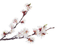 White sakura blooms on two dark brown branches Stock Images