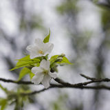 White sakura blossom Stock Photography