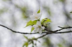 White sakura blossom Stock Photo